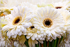 Bouquet of white gerberas. Stock Image