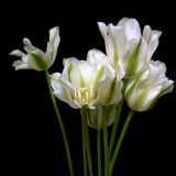 Bouquet of white and green tulips. On black Royalty Free Stock Image