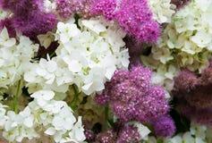 Bouquet of white hydrangea Stock Photos