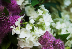 Bouquet of white hydrangea Royalty Free Stock Photography