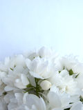 Bouquet of White Jasmine Stock Photography