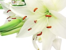 Bouquet of white lilies. White lilies isolated on white background Royalty Free Stock Image