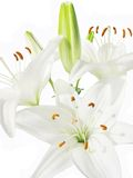 Bouquet of white lilies Royalty Free Stock Photography