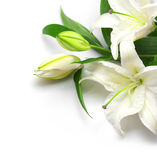 Bouquet of white lilies. On a white background Stock Image