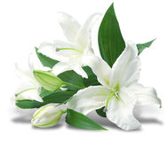 Bouquet of white lilies Stock Photo