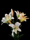 Bouquet of white lilium flowers. On black background close-up  view Stock Photo