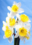 Bouquet of white narcissuses Royalty Free Stock Photos