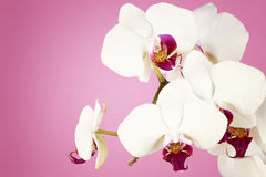 Bouquet of white orchid Stock Image