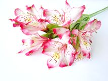 Bouquet of White and Pink Alstroemeria flowers Royalty Free Stock Images