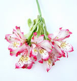 Bouquet of White and Pink Alstroemeria flowers Royalty Free Stock Photos