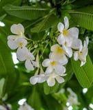 Bouquet of white plumeria flower with blur green leaf Stock Photos