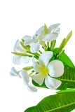 Bouquet of white plumeria flower with some lea. F on white background Stock Photography
