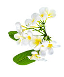 Bouquet of white plumeria flower with some leaf. On white background Royalty Free Stock Photo