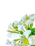 Bouquet of white plumeria flower with some leaf. On white background Stock Photography