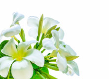 Bouquet of white plumeria flower with some leaf. On white background Stock Photos