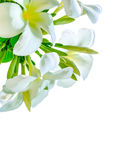 Bouquet of white plumeria flower with some leaf. On white background Royalty Free Stock Photography