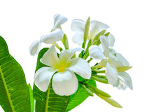 Bouquet of white plumeria flower with some leaf. On white background Stock Images