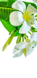 Bouquet of white plumeria flower with some leaf. On white background Royalty Free Stock Image