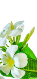 Bouquet of white plumeria flower with some leaf. On white background Royalty Free Stock Photos