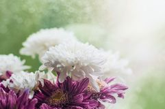 Bouquet of white and purple chrysantemum flowers on a window in rainy summer day. stock photo