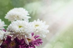 Bouquet of white and purple chrysantemum flowers on a window in rainy summer day. royalty free stock image