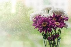 Bouquet of white and purple chrysantemum flowerson a window in rainy summer day royalty free stock images
