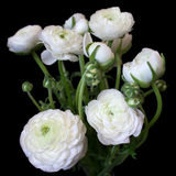 Bouquet of white ranunculus flowers Stock Photo