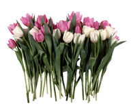 Bouquet of white and red tulips Royalty Free Stock Photos