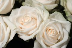 Bouquet of white roses. Under natural light Royalty Free Stock Photography
