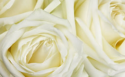Bouquet of white roses Stock Photo