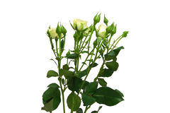 Bouquet of white roses. Isolated Stock Photography