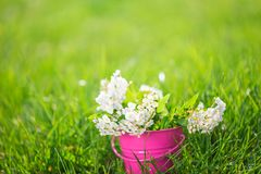 A bouquet of white spring flowers in bucket, beautiful spring background royalty free stock photo