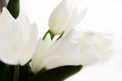 Bouquet of white tulips Royalty Free Stock Images