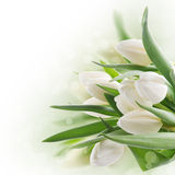 Bouquet of white tulips Royalty Free Stock Photography