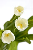 Bouquet of white tulips. Beautiful bouquet of tulips on white background Royalty Free Stock Images