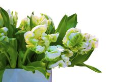Bouquet of white tulips isolated on white background Stock Photos