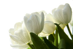 Bouquet of white tulips on the white Royalty Free Stock Image