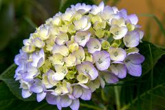 Bouquet of white and violet hydrangea. Macro photography of a beautiful bouquet of white and violet hydrangea flowers. Captured at the Andean mountains of stock photos