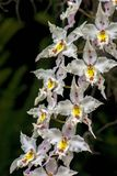 Bouquet of white, yellow and red cambria orchid flowers royalty free stock photo