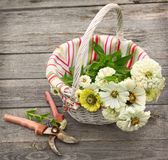 Bouquet of white zinnia in a white basket. On the table and secateur Stock Photos