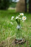 Bouquet of wild camomile flowers Stock Photo