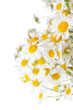 Bouquet of wild camomiles royalty free stock images