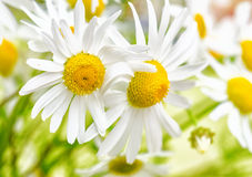 Bouquet of wild daisies Royalty Free Stock Photos