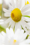 Bouquet of wild daisies Royalty Free Stock Images