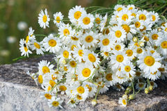 Bouquet of wild daisies Stock Photos