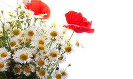 Bouquet of wild flowers of daisies and red poppies isolated on white Royalty Free Stock Photo