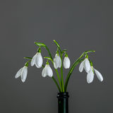Bouquet of wild forest snowdrops. On a gray background Stock Photo