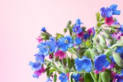 Bouquet of wild forested lungwort on pale pink pastel background with copy space. Selective focus Royalty Free Stock Photos