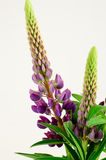 Bouquet of wild purple lupines Stock Photo