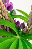 Bouquet of wild purple lupines Stock Photography